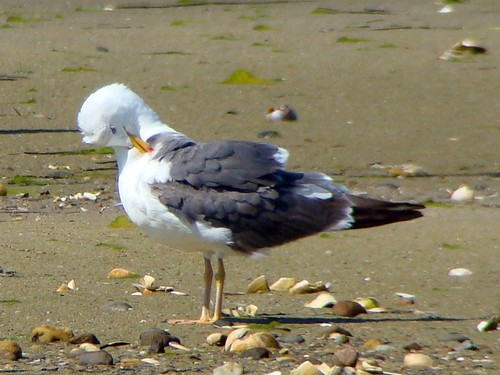 LESSER BLACK BACKED GULL 4 sony