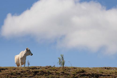 livestock1