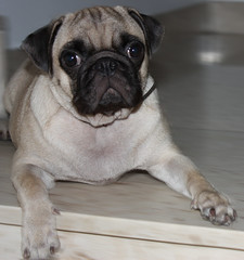 Pug on the stairs (netman007 (Andre` Cutajar)) Tags: blackandwhite orange dog brown cute nice expressions malta andre peaches cutajar netman007