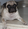 Pug on the stairs (netman007 (Andre` Cutajar)) Tags: blackandwhite orange dog brown cute nice expressions malta andre peaches cutajar netman007