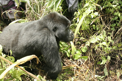 10 year old Blackback Mountain Gorilla passing by