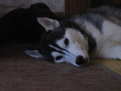 shasta relaxing (William Wilson 1974) Tags: dog pet playing animal puppy husky niagara siberianhusky pup playful westernnewyork wny huskie puppie olean
