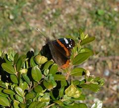 Schmetterling fr Renate a (AnnAbulf) Tags: fvg 1976 farfalla schmetterling terremoto erdbeben gemona friuliveneziagiulia gemonadelfriuli friauljulischvenetien glemone