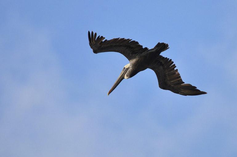 pelican_0055