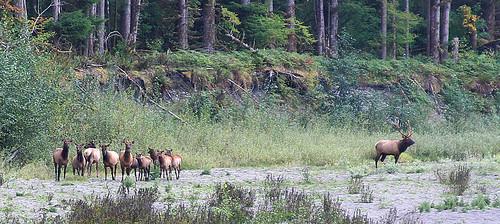 My Bull Elk