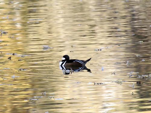merganser on golden pond
