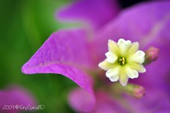 happy birthday gage! (DocTony Photography) Tags: flower macro closeup nikon purple excellence bougainvilla d90 2xtc 100f28 doctony