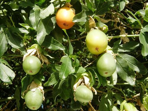frutos mburucuya