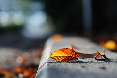 Autumn leaf bokeh; Ebara Shrine, Shinbamba, Old Tokkaido Road, Tokyo (Alfie | Japanorama) Tags: park autumn red orange green fall nature leaves sunshine yellow japan season japanese tokyo leaf nikon shrine asia dof seasons natural bokeh web acer environment koen jinja shallowdof d300 ebara fallinjapan razorthindepthoffield nikkor85mmf14afd natureinjapan autumnintokyo natureintokyo fallintokyo oldtokkaidoroad