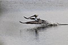 Prepare for Liftoff (morgoththebetrayer) Tags: california ca lake bird water outdoors flying humboldt student wildlife pelican marsh splash takeoff cory cr avian eureka hsu mckinleyville zuspan nikonstunninggallery anawesomeshot
