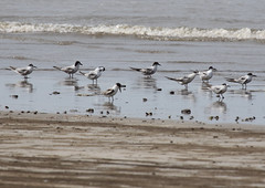 Terns on Akshi Beach (john164694) Tags: india birds maharashtra tern konkancoast akshibeach