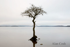 The Tree At Milarrochy Bay (Alan Cosh) Tags: uk mist lake tree water scotland loch lochlomond nikond60 milarrochybay millarochybay