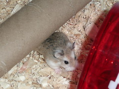 December 09 024 (supernaturalfan90) Tags: dwarf hamsters robo