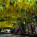 Laburnum Arch, Laburnum Pergola, in full bloom at Bodnant Gardens, Conwy, Wales, UK (1 of 15)