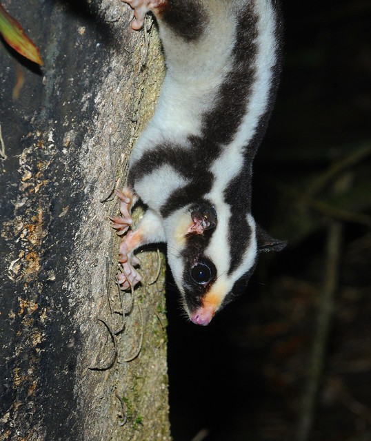 striped possum1