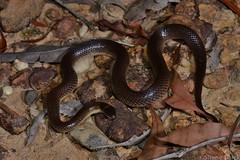 Red-naped Snake (Furina diadema) (shaneblackfnq) Tags: rednaped snake furina diadema shaneblack reptile elapid venomous sydney heathcote sandstone nsw new south wales australia