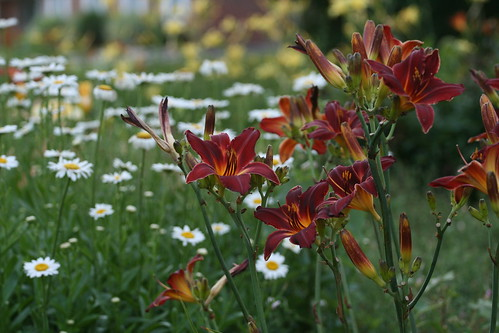 daisies and daylilies