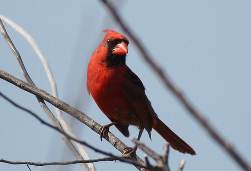 Northern Cardinal - 5/29/2009