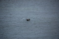 Seal at the coast of Copinsay (Kristel Jeuring) Tags: sea rain orkney seal copinsay