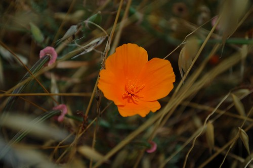Late Poppy (Vista Verde, California, United States) Photo