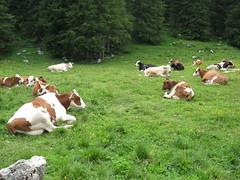 cows (ssabaa) Tags: mountain cows asiago