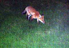 Fox_71309