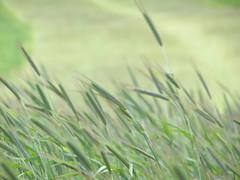 Jęczmień (magro_kr) Tags: field barley spring village poland polska pole crop wiosna malopolska wies małopolska zboże zboze wieś hordeum małopolskie malopolskie szlakorlichgniazd jęczmień jeczmien eaglesneststrail sułoszowa suloszowa
