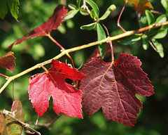 Vitis vinifera subsp. sylvestris (48°11' N 16°...