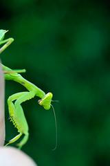 rearhorse ([cipher]) Tags: green zeiss insect 50mm nikon makro planar d300 zf rearhorse makroplanar capturenx
