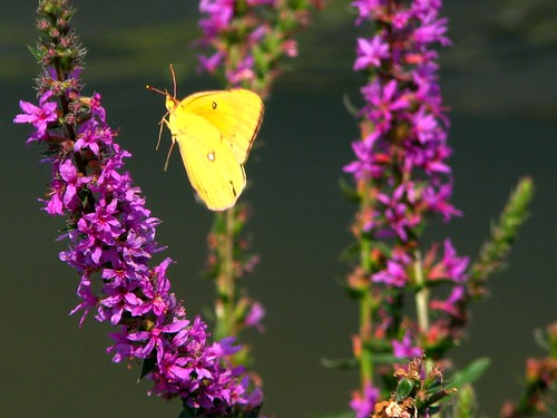 "Flying ""Clouded Sulphur"" Butterfly by paynehollow"