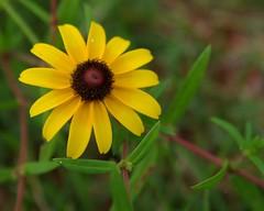 IMGP7283 (kypainter) Tags: flower yellowflower blackeyedsusan yellowdaisy