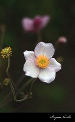 Anenomes (quiksilver_ice) Tags: red white flower green yellow closeup japanese 50mm petals stem purple bokeh pistil anemone stamen pollen anthers prakticar canoneos450d