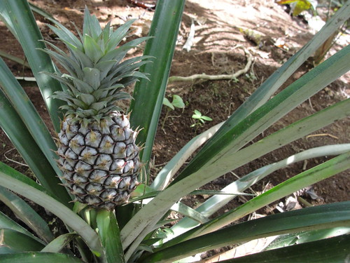 a fresh fucken pineapple!