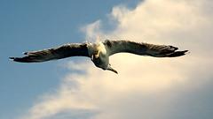 overflying seagull #1 (manuela_davi) Tags: sea sky bird nature birds animals fly flying mare butt free natura ali burns cielo azzurro animalplanet animali gabbiano naturesfinest animaliselvatici freenature