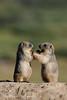 Long tailed marmot. (Nadeem Khawar.) Tags: pakistan marmot deosai deosainationalpark skardu nadeemkhawar northerenareasofpakistan longtailedmarmot gilgitbaltistab gettyimagesmiddleeast