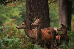 nervously watching (felt_tip_felon) Tags: nature stag wildlife doe deer antlers fallowdeer mammals hind reddeer richmondpark rutting