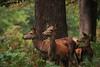 nervously watching (felt_tip_felon®) Tags: nature stag wildlife doe deer antlers fallowdeer mammals hind reddeer richmondpark rutting