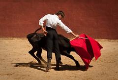 ¡Olé! (Chreriksen) Tags: españa cow spain bullfight vacabrava canonefs1855mmf3556is