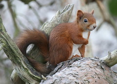 Red Squirrel (Richard Bennie) Tags: red mammal scotland squirrel fife nuts fbdg rossiebog