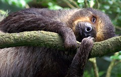 Lazy sloth at the Singapore Zoo (dbillian) Tags: sleeping nature animal animals zoo singapore wildlife sloth damon zoos sloths damonbillian billian flickrdiamond