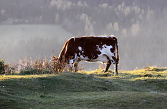 Late afternoon (BeateL) Tags: sun cow afternoon ku gran hadeland oppland granphadeland