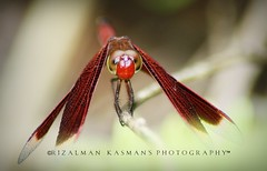 #The Dragonfly Series - Red Dragon 2 (Face to Face) [ Explored-Oct 29, 2009 #81 ] ( Rizalman Kasman Photography) Tags: dragonfly pepatung platinumheartaward platinumbestshot