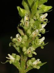 Orquídea de Ocampo (Ocampoa mexicana) FLORES
