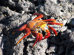 Sally Lightfoot is my name ^~^ (SamSpade...) Tags: red sea orange canon ecuador crab galapagos crustacean 256 sallylightfoot naturesfinest 3482 grapsusgrapsus freenature photosofquality naturescarousel