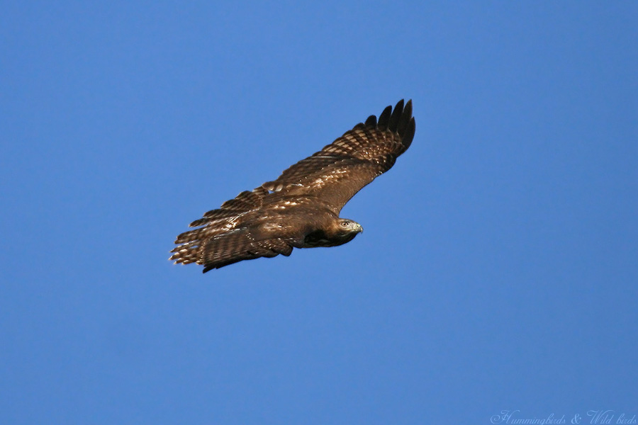 Red-tailed Hawk 110907