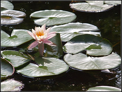 Pink Waterlily (LoBsTeRbig) Tags: pink flower waterlily frog ep1 蓮花 植物園 riceworld 睡蓮 pentacon13528