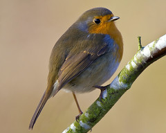 Oh God its another Robin ( but I love em ) (Andrew Haynes Wildlife Images) Tags: bird nature robin wildlife feathers warwickshire brandonmarsh canon7d ajh2008