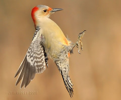 Female Red-bellied Woodpecker In Flight! (JRIDLEY1) Tags: flying wings woodpecker michigan redbelliedwoodpecker naturesfinest supershot specanimal abigfave specanimalphotooftheday anawesomeshot avianexcellence flickrdiamond brightonmichigan theunforgettablepictures nikond3 femaleredbelliedwoodpecker artofimages jridley1 jimridley bestcapturesaoi dailynaturetnc09 httpjimridleyzenfoliocom elitegalleryaoi photocontesttnc10 lifetnc10 jimridleyphotography photocontesttnc11 photocontesttnc12