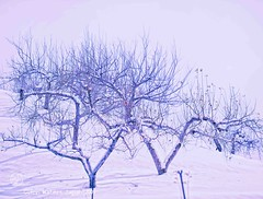 Apple Trees in Winter   Glenn E Waters (Glenn Waters in Japan.) Tags: winter snow apple japan nikon yuki hirosaki ringo  appletrees   d700  glennwaters afsnikkor70200mmf28gedvrii