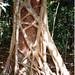 Strangler Fig, Ficus watkinsiana